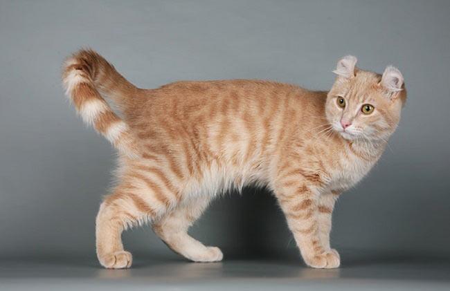 Кот американский кёрл