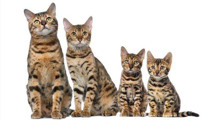Семейство бенгальских кошек
