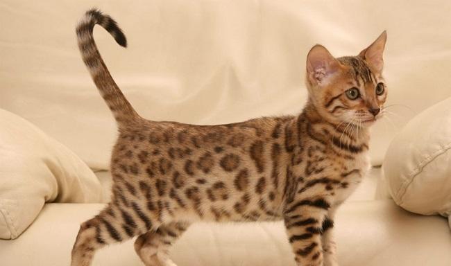 Котёнок сафари
