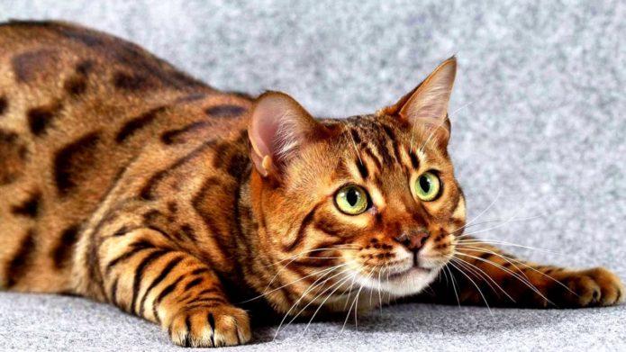 Кошка тойгер