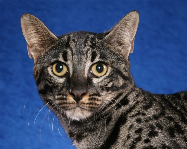 Кошка сафари