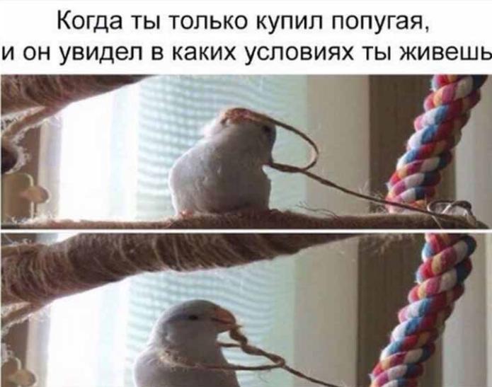 Мем с попугаем