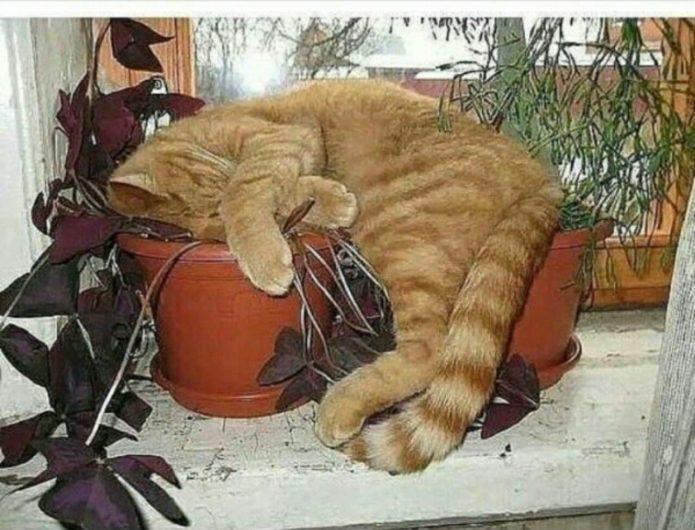 Спящий на цветочных горшках кот