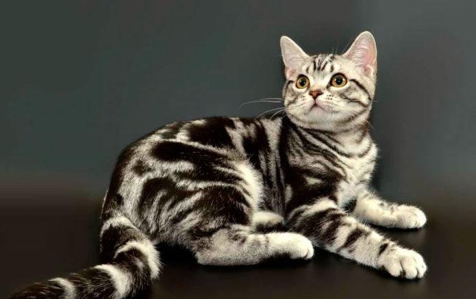 Американская гладкошерстная кошка