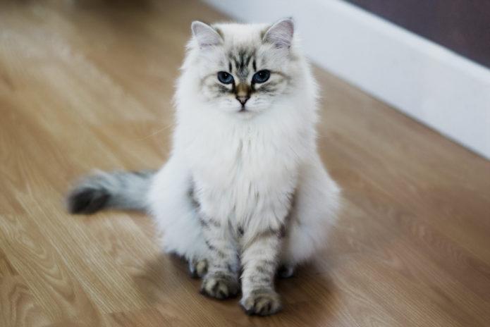 Невская маскарадная кошка сидит на полу