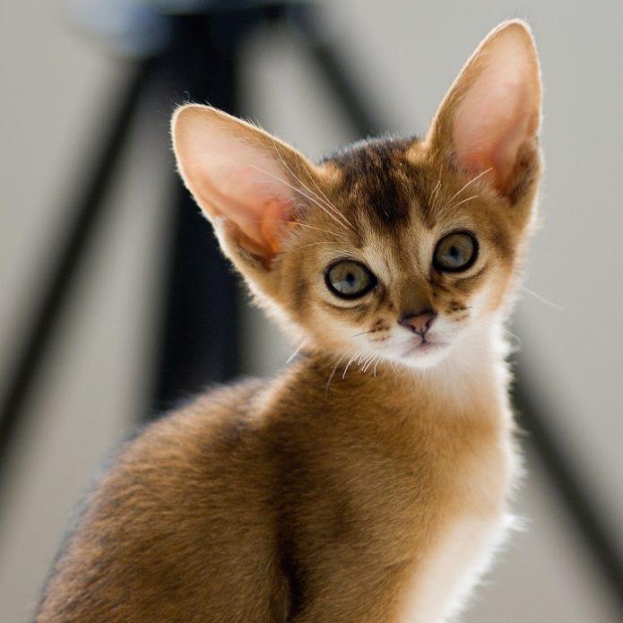 Котёнок абиссинца
