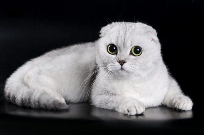Шотландская вислоухая кошка лежит