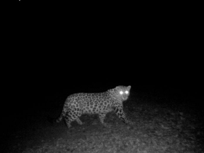 однобокий леопард