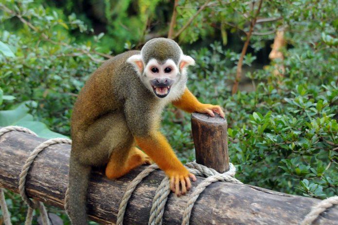 Беличья обезьяна саймири