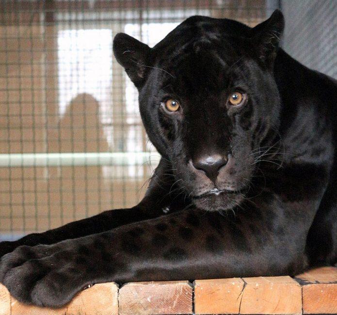 ягуар Яго из красноярского зоопарка