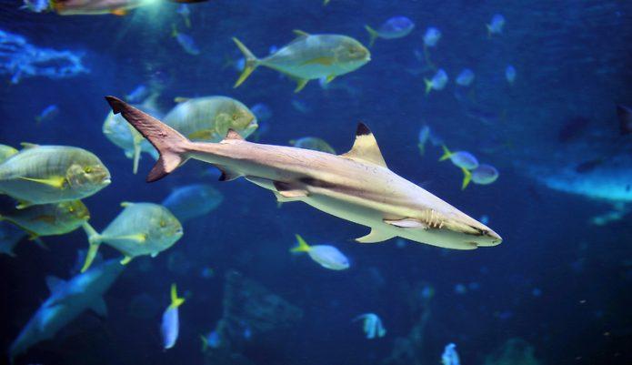 маленькая акула