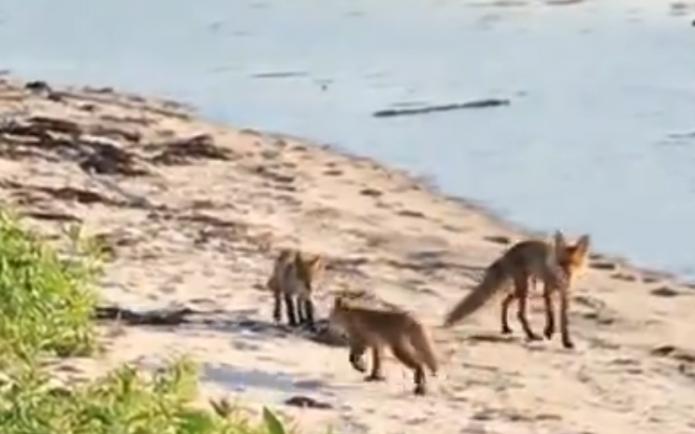 Лиса с детёнышами на берегу