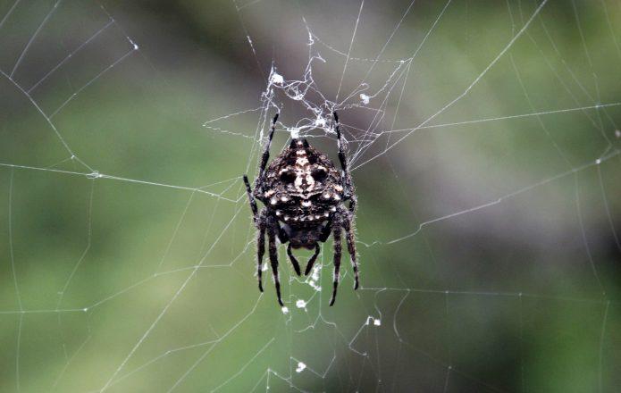 Дарвиновский паук Caerostris darwini