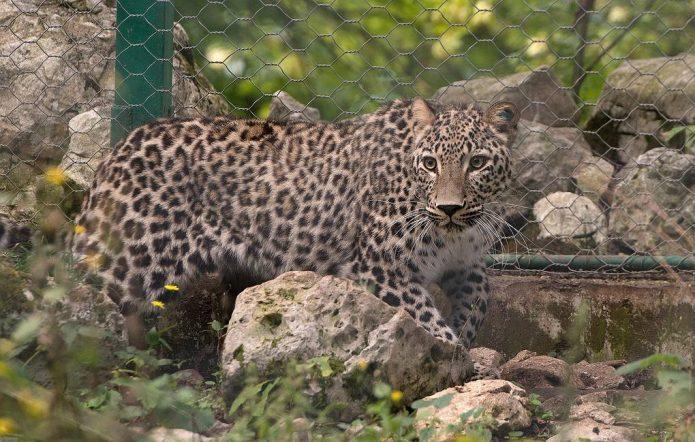 Самка леопарда