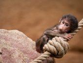 Детёныши бабуина