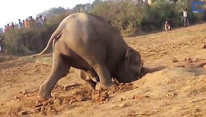 Слониха копает