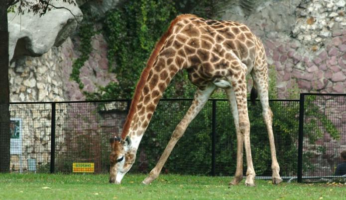 Жираф ест траву