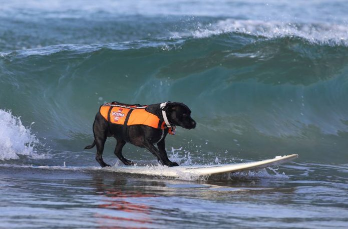 собака серфер