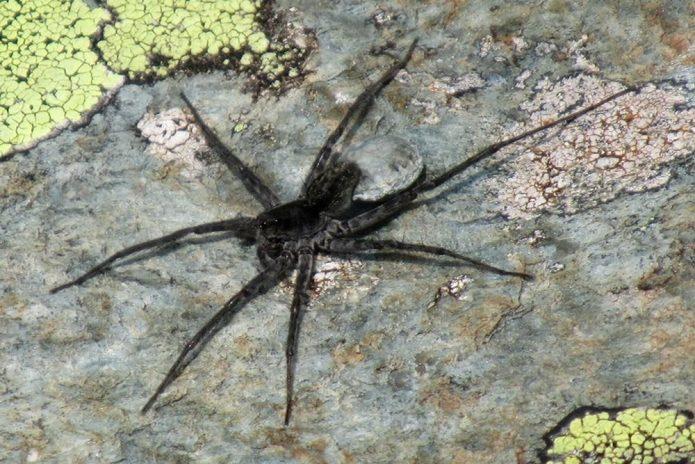 новый вид паука волка