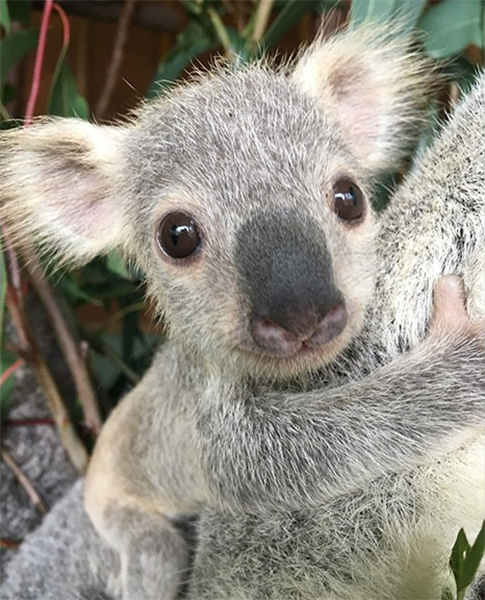 самая милая коала