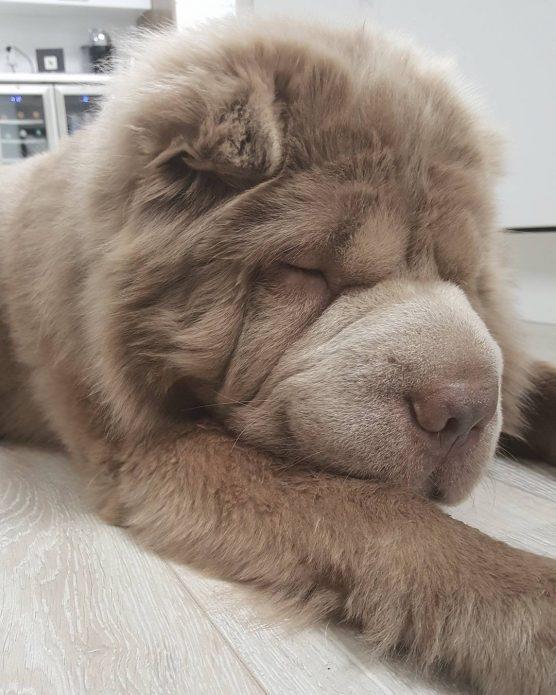 пёс Медведь Тонки
