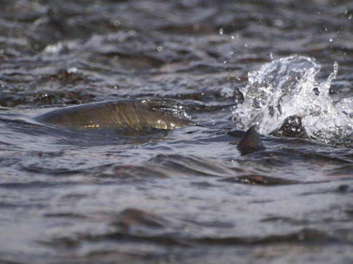 лосось в реке
