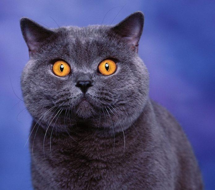 кошка британская