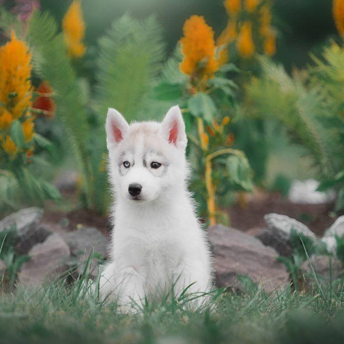 Хаски Синди в возрасте щенка