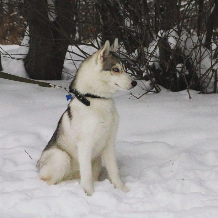 Хаски Синди на снегу