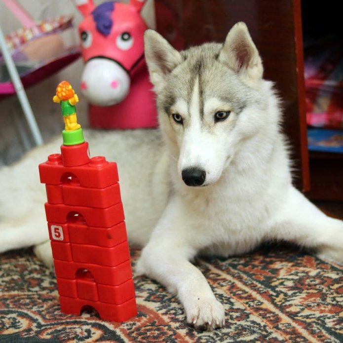 Хаски Синди и игрушка