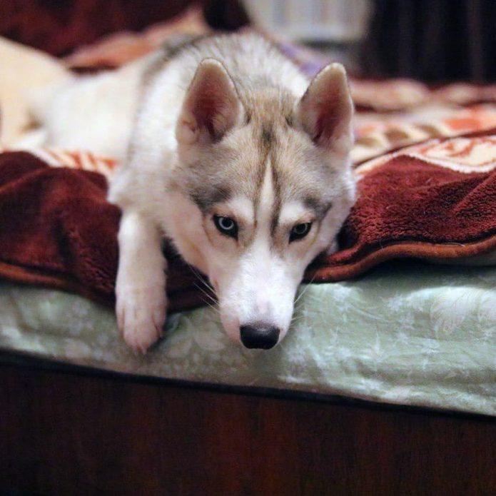 Хаски Синди на кровати
