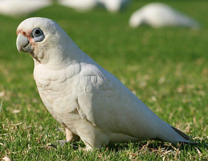 Гологлазый какаду в природе (такой же попугай танцевал ламбаду)