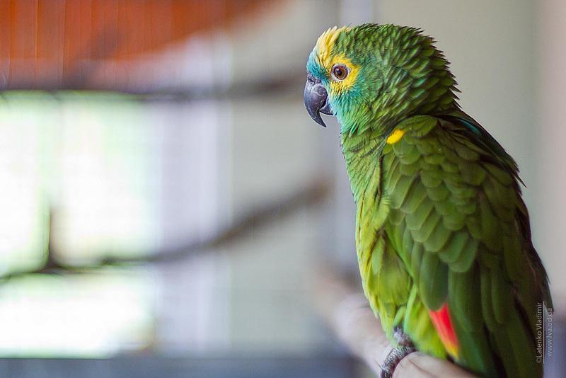 попугай поет беловежскую пущу