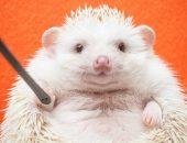Мечтательный ёжик Дарси: популярный зверёк из Токио