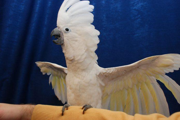 Большой хохлатый какаду машет крыльями