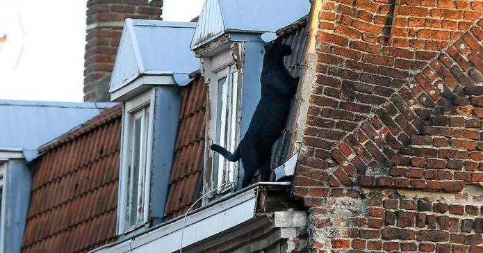 Пантера на крыше