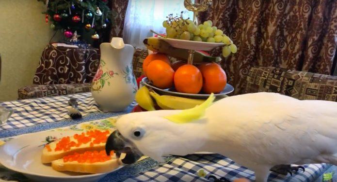 Попугай Кирюня поедает икру