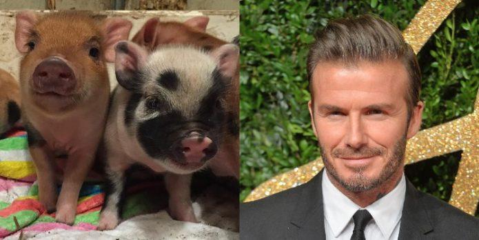 Дэвид Бэкхем и его свинки