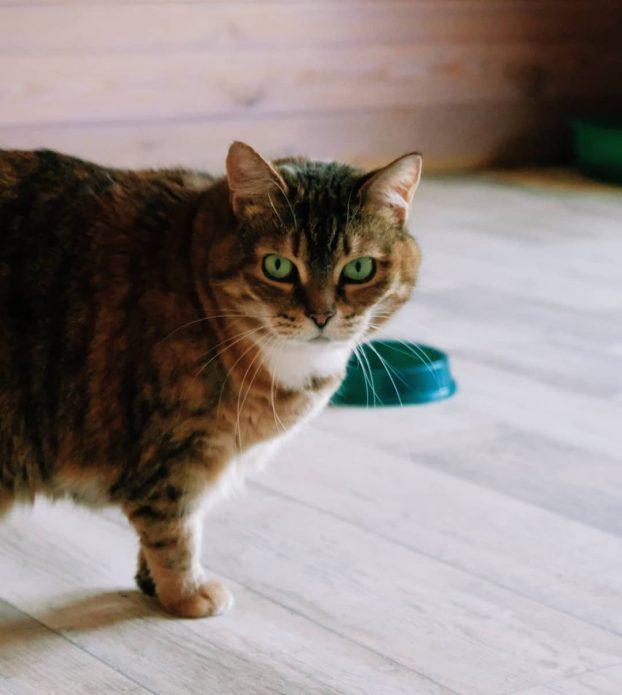 кошка Бабка