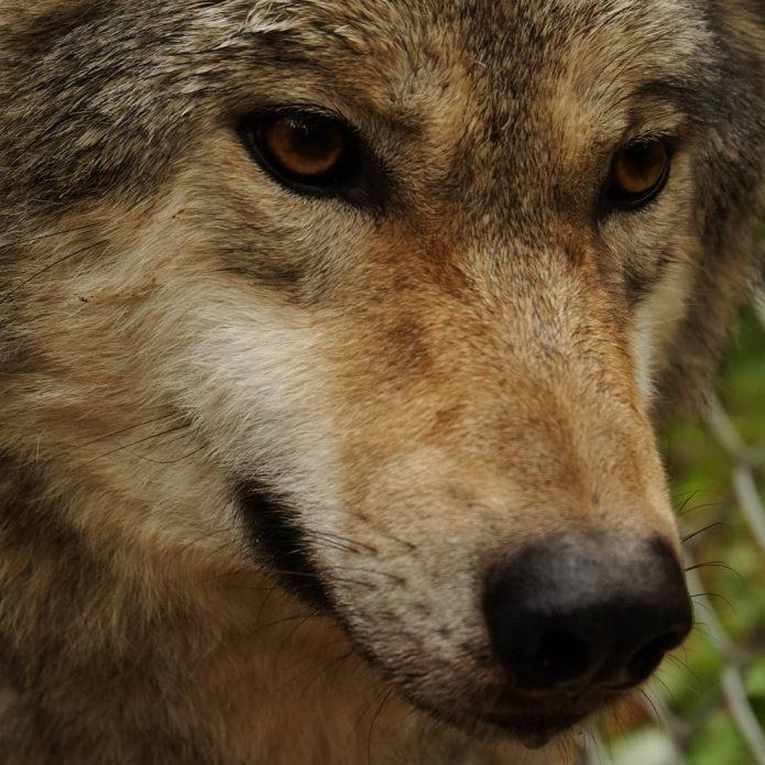 волк Альфа