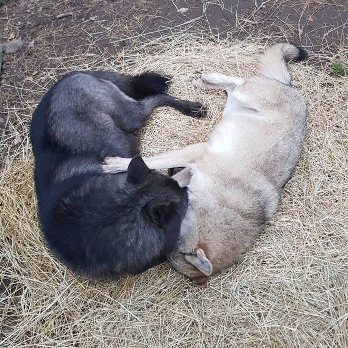 волки Уголек и Альфа