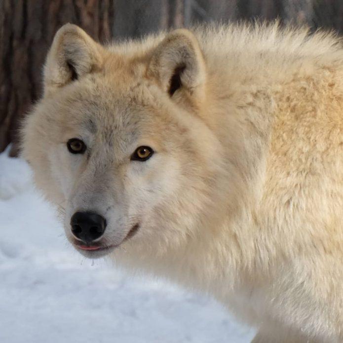 волк Акелла