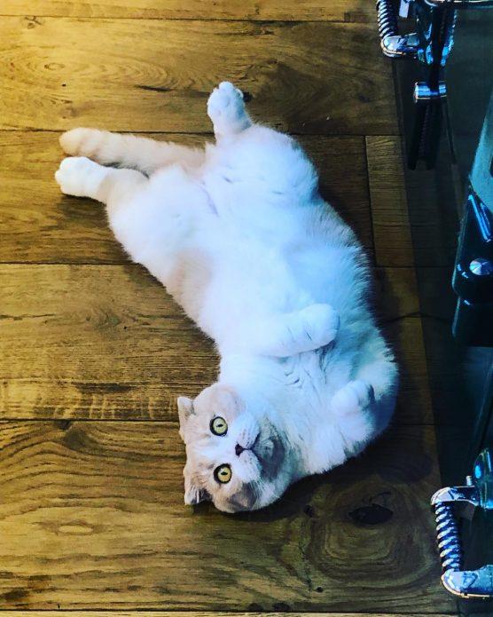 кошки Калиппо