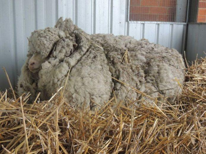 Самая заросшая овца