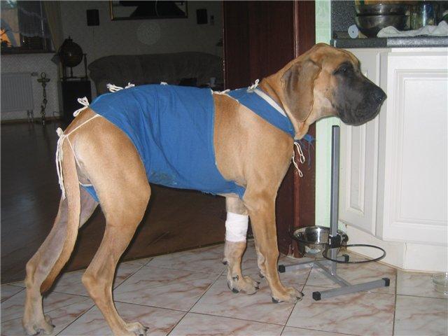повязка на живот собаке