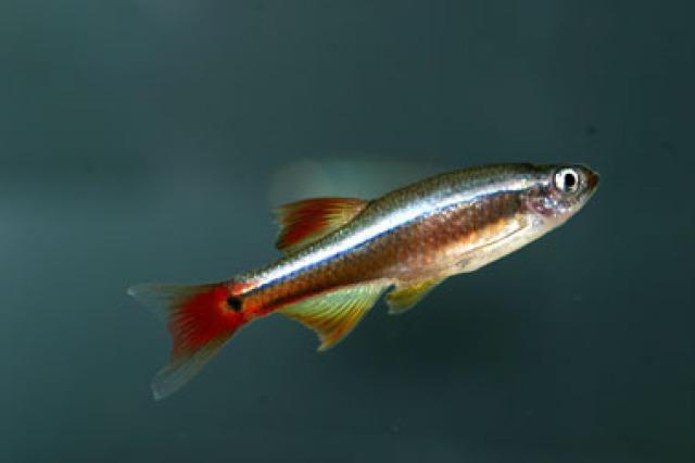 Продолжительность жизни рыбки кардинала