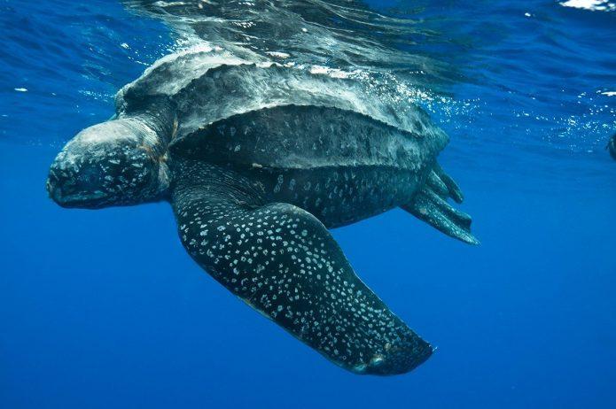 Кожистая черепаха под водой