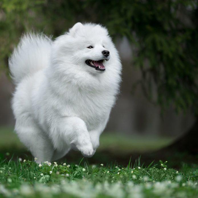 Собака самоедской породы