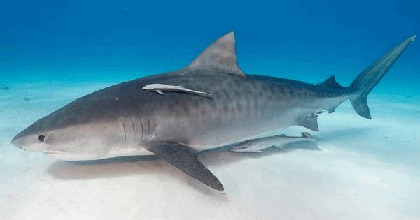 Рыба-прилипала на акуле