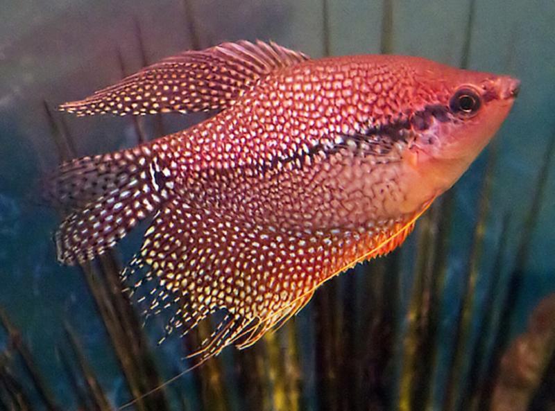 Рыбка гурами